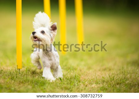 Cute little dog doing agility drill - running slalom, being obediend and making his master proud and happy - stock photo