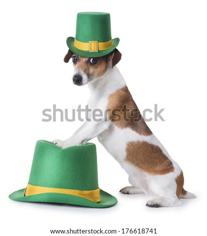 cute little dog jack russell terrier in a green St. Patrick's hat looking at the camera while standing feet on the second hat. White backgrond. Studio shot - stock photo