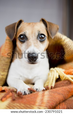 Cute little dog lies nestled warm soft blanket. Relaxation and comfort