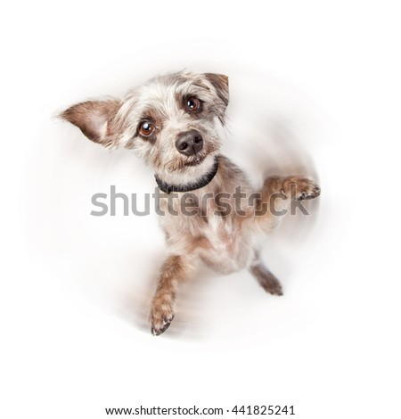 Cute little dog standing on hind legs with paws up. Intentional motion blur to imply he is spinning around.