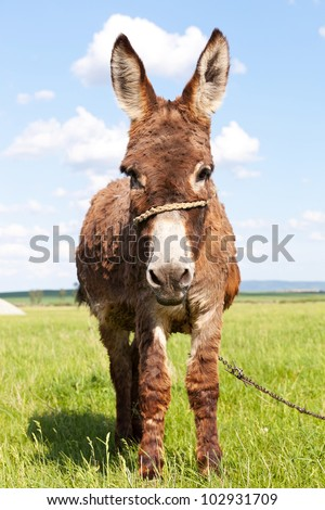 cute little donkey looking at the camera standing in a grass field - stock photo