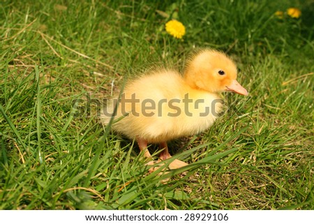 Cute little duckling in the grass - stock photo