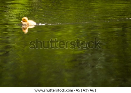 Cute little duckling swimming on a pond - stock photo