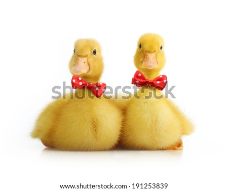 Cute little duckling with red bow isolated on white background - stock photo