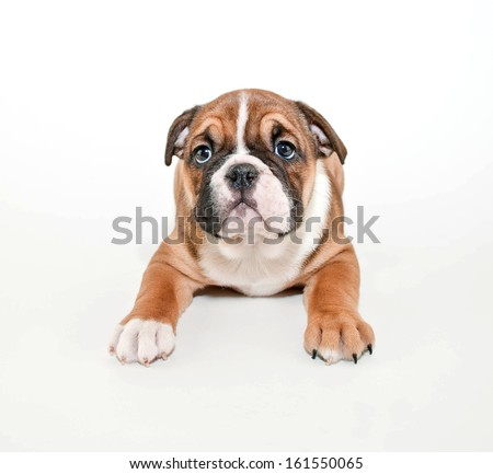 Cute little English Bulldog puppy laying on a white background. - stock photo