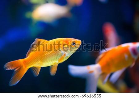 cute little fish in an aquarium - stock photo