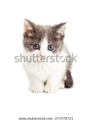 Cute little five week old kitten with grey and white fur sitting and looking forward at the camera - stock photo