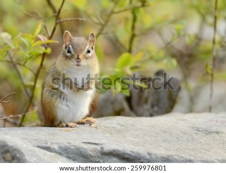 Cute little fluffy baby chipmunk sits on a rock ledge - stock photo