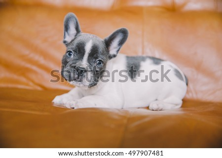 Cute little french bulldog puppy on the sofa