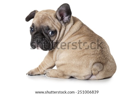Cute little French bulldog puppy sitting on white background and looks to something  - stock photo