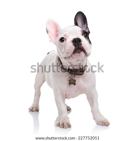 cute little french bulldog puppy standing  on white background and looks up to something - stock photo