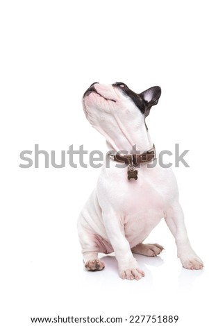 cute little french bulldog puppy turning its head to something up to side, on white background - stock photo