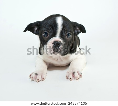 Cute little French Bulldog that looks sad on a white background. - stock photo