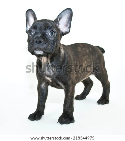 Cute little Frenchie puppy looking up on a white background.