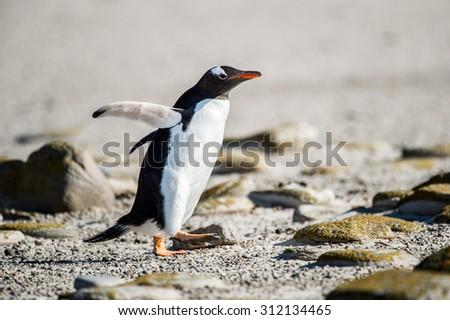 Cute little gentoo penguin  close up - stock photo