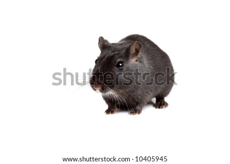 Cute little gerbil on white background