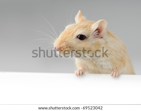 Cute little gerbil standing above white banner - stock photo