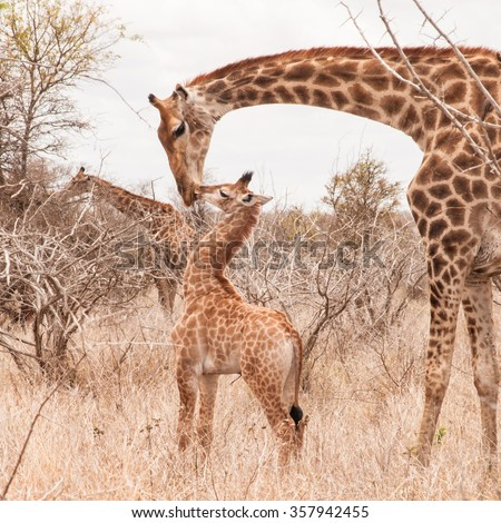 Cute little giraffe cub kissing his mother in the arid Savannah.  Shot in the Kruger National Park, South Africa. - stock photo