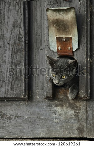 Cute little gray kitten leaning out the door - stock photo