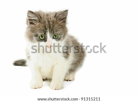 Cute little grey and white fluffy kitten isolated on white background