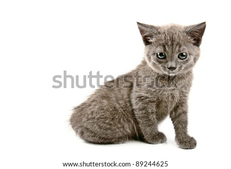 Cute little grey kitten isolated on white background