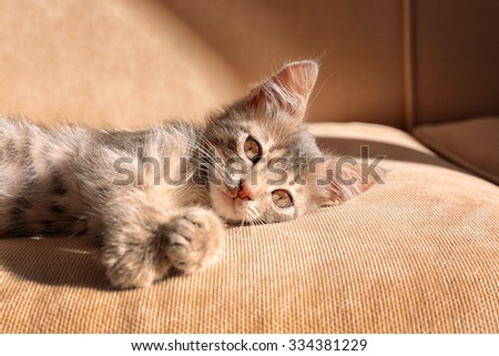 Cute little grey kitten lying on sofa