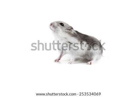 cute little hamster walking - stock photo