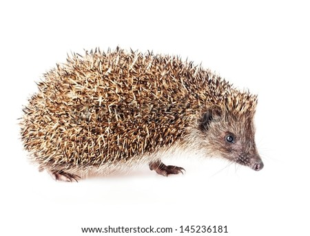 Cute little hedgehog on a white background. - stock photo