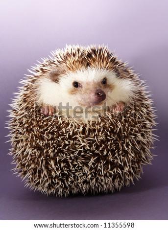 cute little hedgehog, purple background - stock photo