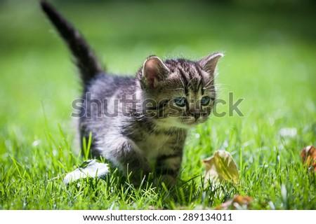 Cute little kitten carefully walking through green grass looking intent  - stock photo