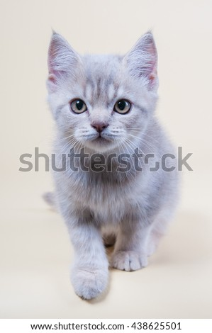 Cute little kitten is sitting on a gray background