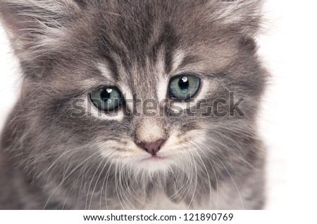 Cute little kitten isolated on white background close-up portrait - stock photo