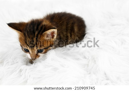 Cute little kitten on fur rug