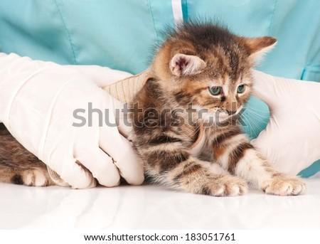 Cute little kitten on survey at the veterinarian close-up - stock photo