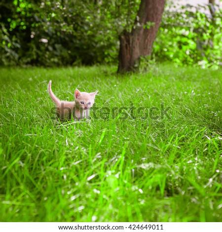 Cute little kitten on the grass lawn. kitten walking on the grass in park - stock photo