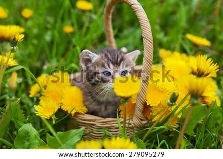 cute little kitten sitting in a basket on the flower meadow and smelling dandelion - stock photo
