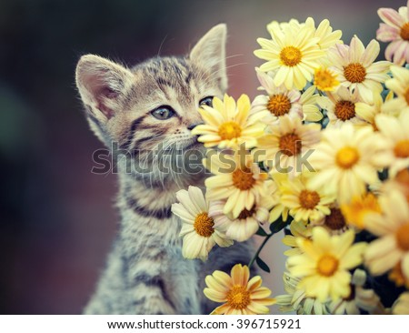 Cute little kitten sniffing yellow daisy flowers - stock photo