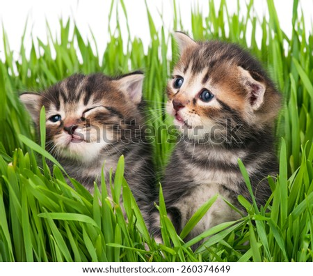 Cute little kittens in the bright green grass over white background. Focus on the right kitten - stock photo