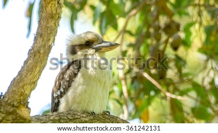 Cute little Kookaburra bird sitting on marri tree - stock photo