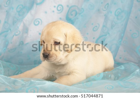cute little Labrador Retriever puppy isolated over blue background