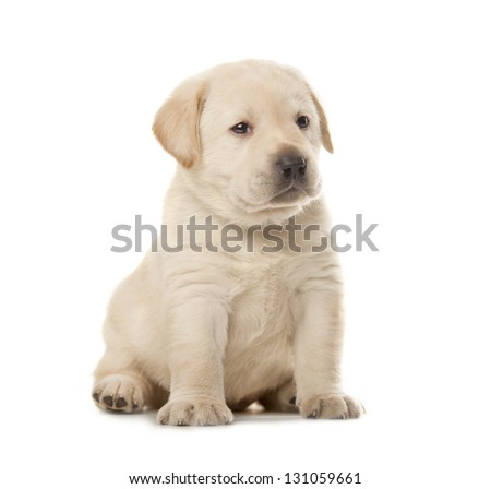 cute little Labrador Retriever puppy isolated over white background - stock photo
