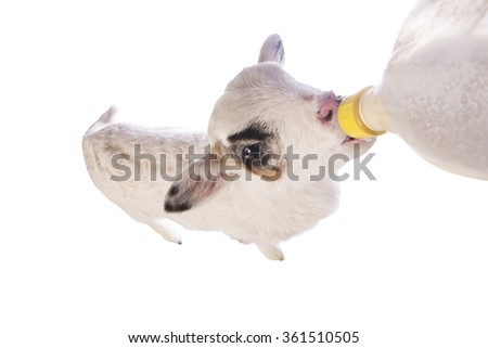 Cute little lamb eating out of a bottle isolated on white background