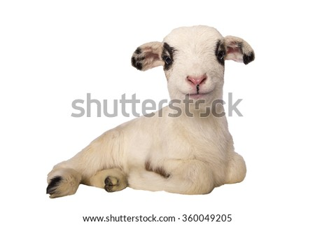 Cute little lamb lying down  isolated on white background - stock photo