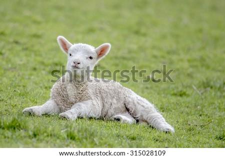 Cute little lamb resting on grass - stock photo