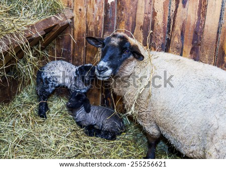 Cute little lamb with mother sheep  on the farm