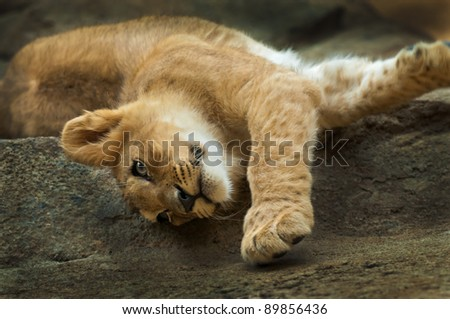 Cute little lion stretching after short nap - stock photo