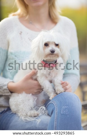 Cute little Maltese dog lying on its owners lap during the walk in a park
