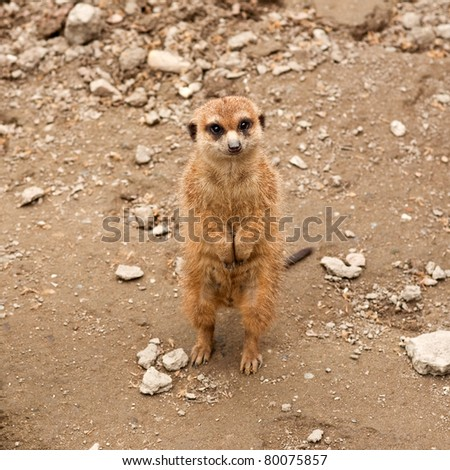 Cute little meerkat in the zoo - stock photo