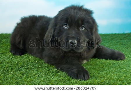 Cute little Newfoundland puppy laying in the grass outdoors with a blue sky behind her.