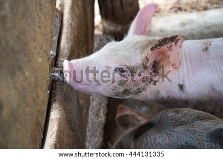 cute little Pig eat water on cement ground in the traditional farm at pig breeding farm. - stock photo